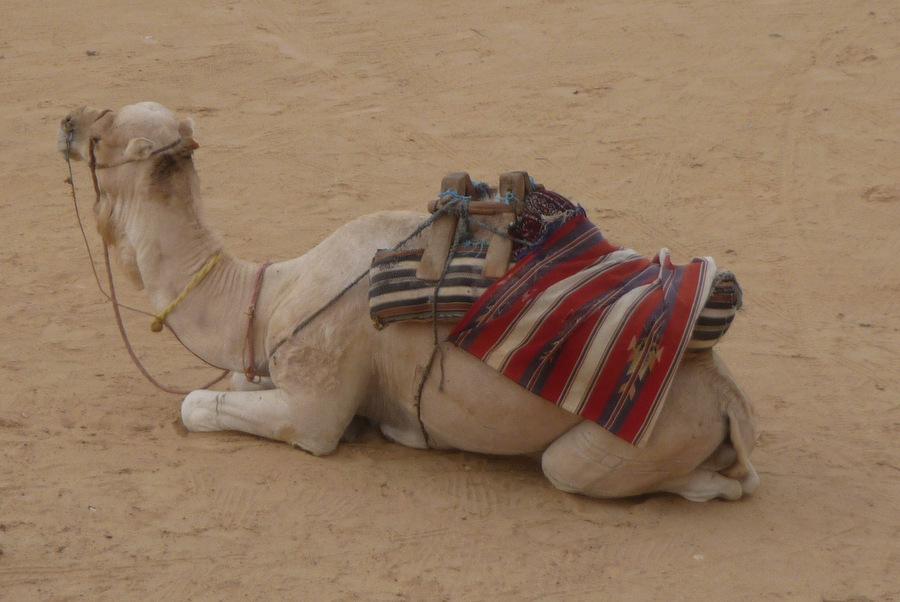 Tunesien Kamelreiten in der Wüste, Seniorenreise
